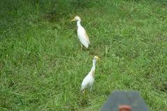 cowbird 059