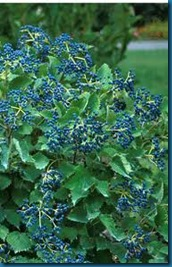 blue muffin viburnum