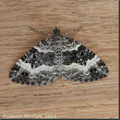 Common-Carpet