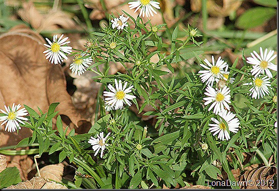 Ross_Lake_Asters_White
