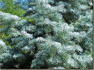Abies_concolor_Blue_Cloak-5