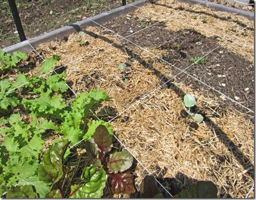 Broccoli seedling started in coir