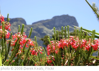 'Erica regia, Kirstenbosch, Cape Town, South Africa' photo (c) 2008, Derek Keats - license: http://creativecommons.org/licenses/by-sa/2.0/