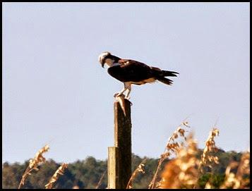 Birds - Osprey eating dinner