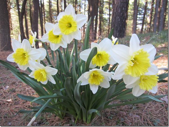 Daffodils_2013