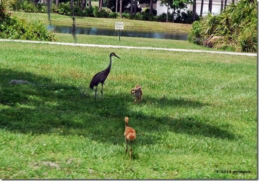 sandhill crane babies 023