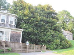 Ed Gorey House side of house w magnolia tree2