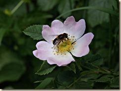Broekom, Molenberg: een wilde roos
