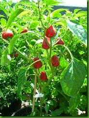 Pepper Trottolino Amoroso