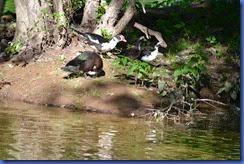 Ducks 2011-08-30 020