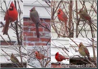 cardinals in rain
