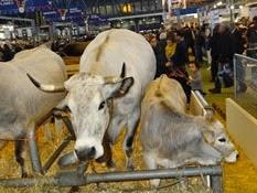 2015.02.26-059 vache gasconne