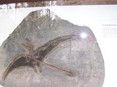 2008.09.10-009 eudimorphodon