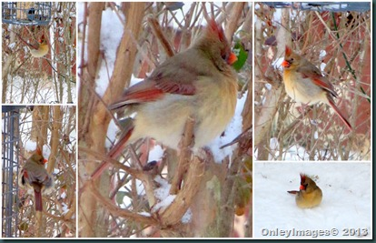 female cardinal-snow
