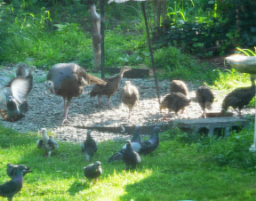 Also, we had a mom Turkey with SEVEN babies in the yard a couple weeks ago...