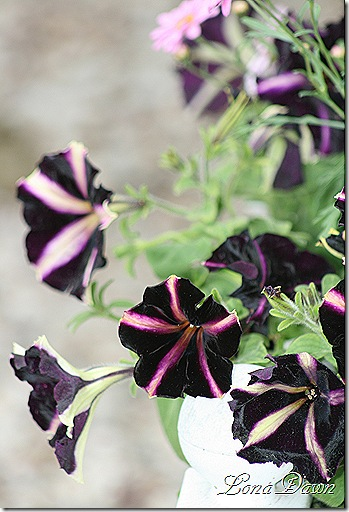 Petunia_Pinstripe_May26