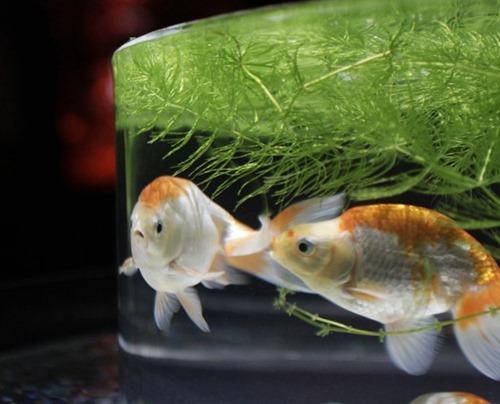 Peixes dourados são expostos em um tanque do Diners Club Art Aquarium, em Tóquio, no Japão