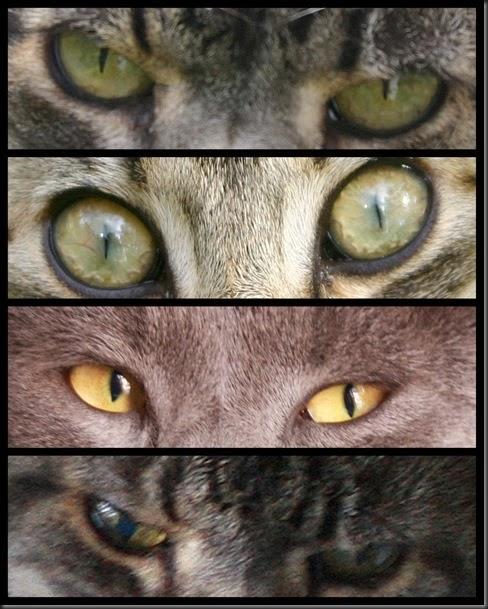 occhi di gatti