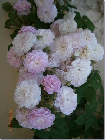 Giardino iris e rose 299