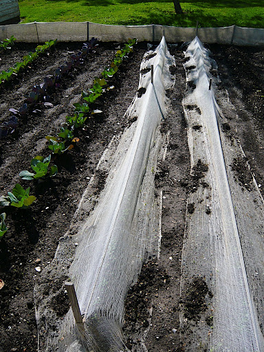 Cheese cloth is used as a barrier to keep out cabbage loopers, another easy-to-look-at pest solution.