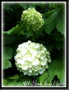 snowball bush ARLH