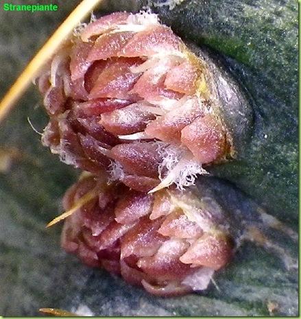 Echinocereus knippelianus boccioli fusto