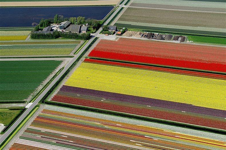 tulip-field-5