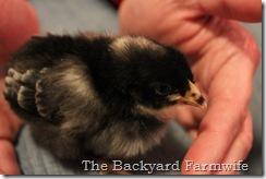 chicks 02