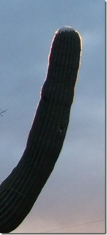 Saguaro snow glow 2-21-2013 7-31-40 AM 372x823