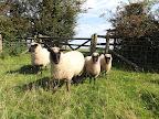 Keepers ewes - P46 & lambs.JPG