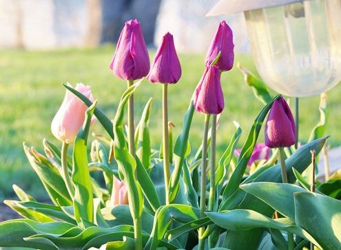 2013-05-04 tulips