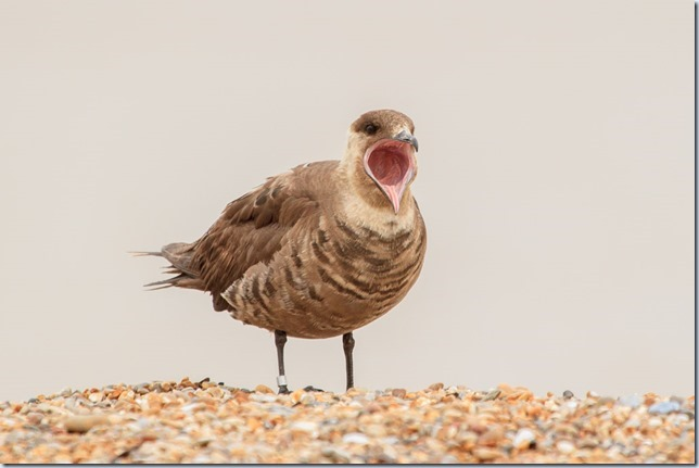 ArcticSkua_Sizewell-2