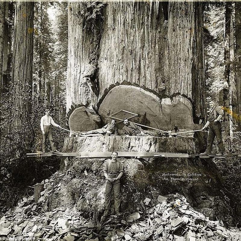 The Lumberjacks Who Felled California's Giant Redwoods