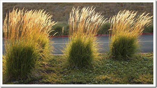 110721_ikea_calamagrostis_acutiflora1