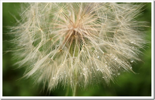 110708_Tragopogon-dubius_16