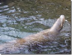 2012.08.05-035 lions de mer