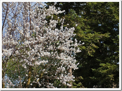 120222_white_tree