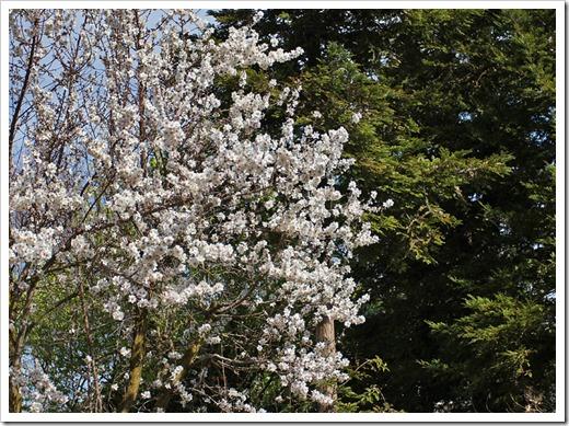 120222_white_tree