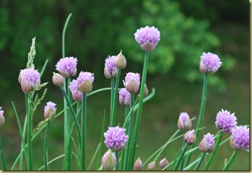 2011-05-29 Chives