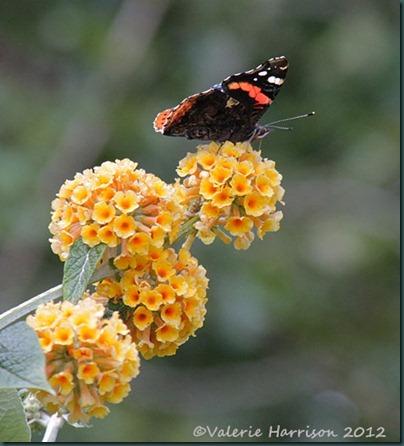 Red-Admiral-on-orange-buddleia