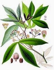 Yuca Plant