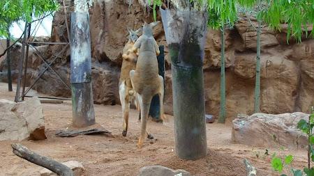 Imagini Australia: box intre canguri