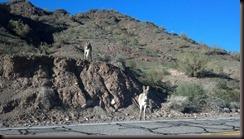 Parker AZ  - wild burros-2