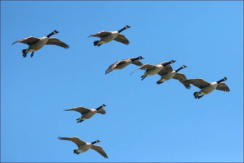 Flight of Canada Geese