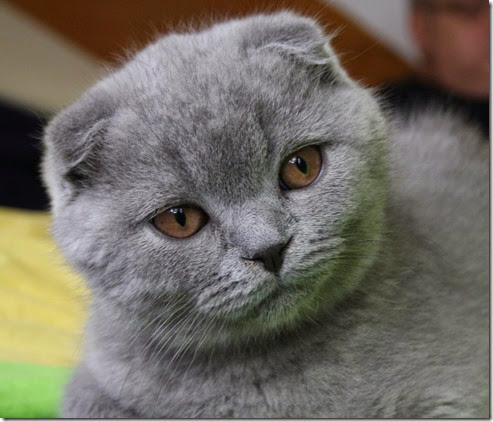 the_scottish_fold_4