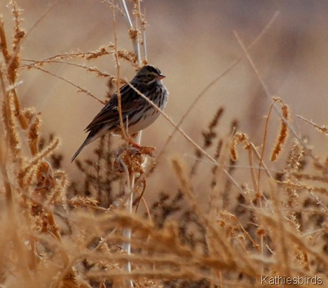 16. savannah sparrow-kab