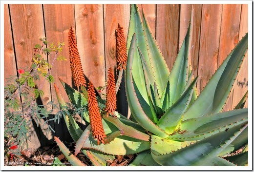 150128_fy_aloes_014