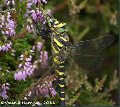 15-golden-ringed-dragonfly