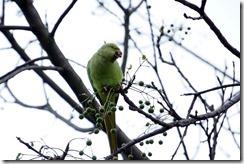paris 2012 parc montsouris parrots 010713 00003