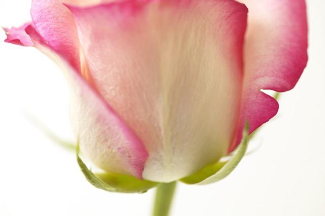 Pink and cream rosebud